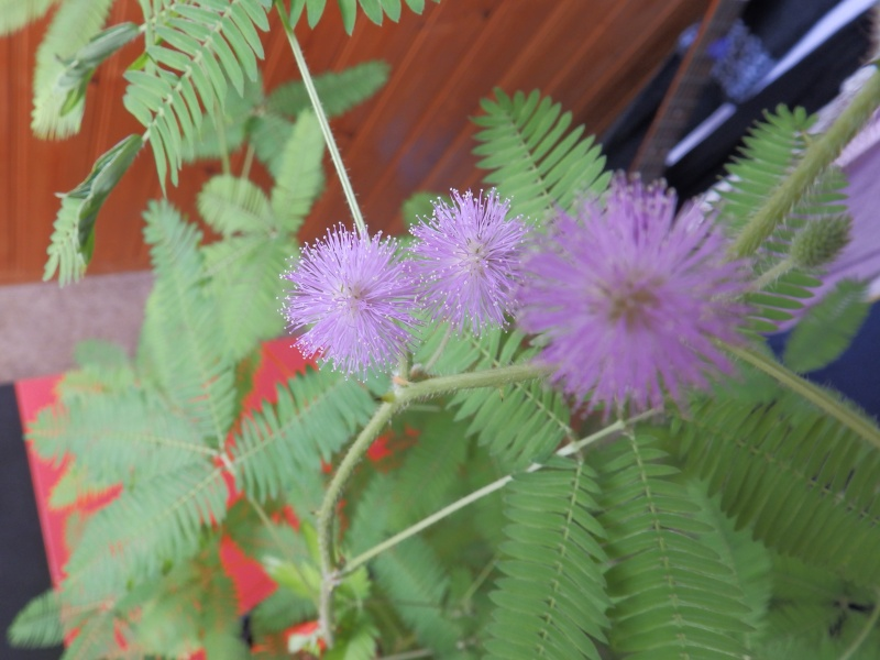 Mimosa Pudica - Page 2 P7210610
