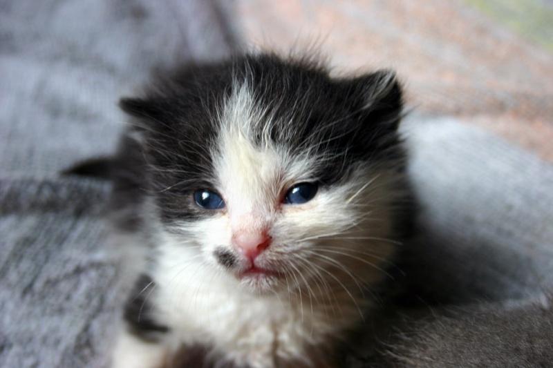 Am, Stram, Gram, 3 chatons sauvés in extremis, Ecole du chat de Roubaix (59) Am10