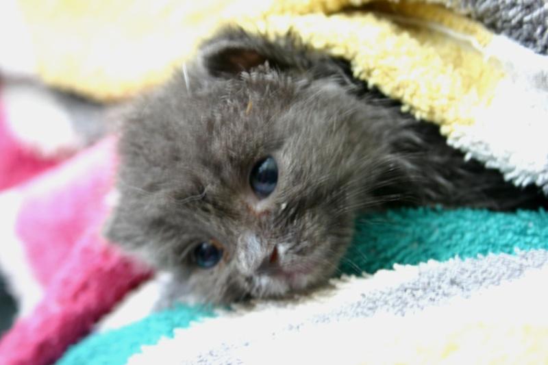 Am, Stram, Gram, 3 chatons sauvés in extremis, Ecole du chat de Roubaix (59) Stram10