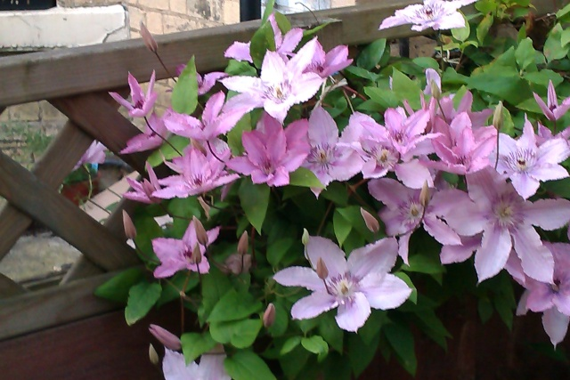 If you like Clematis. 1st_ph10