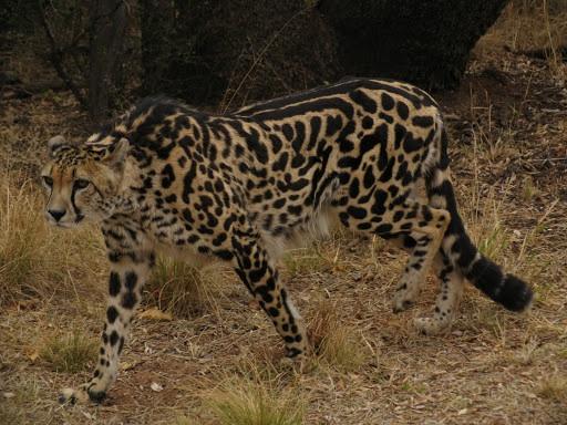 Jake the cheetah hybrid (Finished) Image39