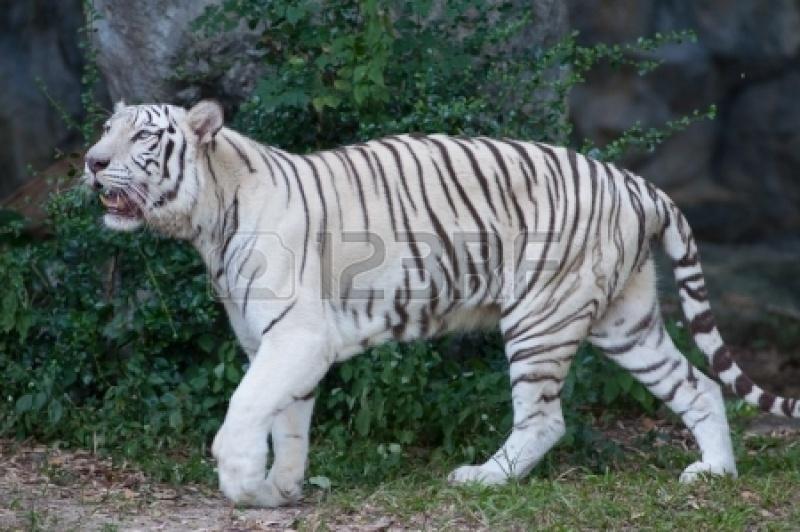 Annie the white tiger hybrid Image54