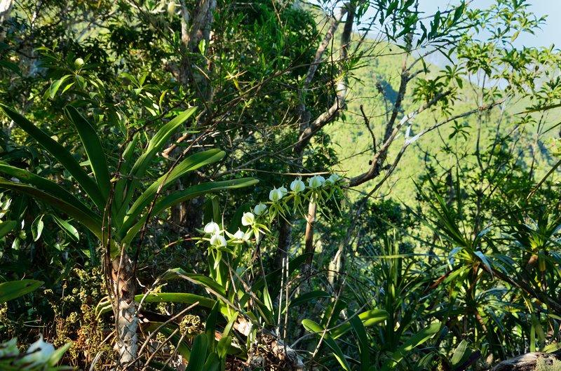Angraecum eburneum Dsc_0013
