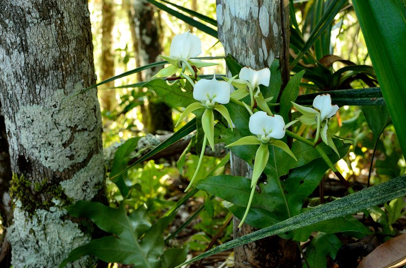 Angraecum eburneum Dsc_0014