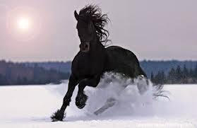 Delian the black stallion Delian10