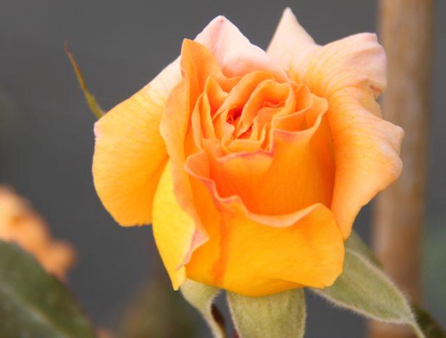 mes roses Rose_w10