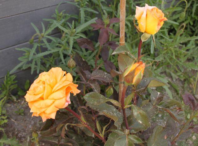 mes roses Roses_11