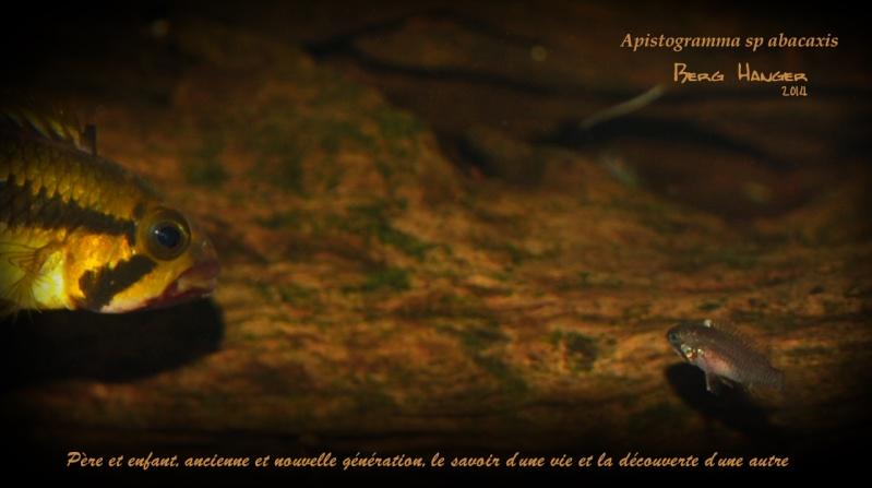 Histoires d'Apistogramma et autres CN Pare_e10