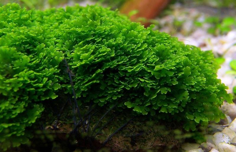 Mini Pellia (Riccardia chamedryfolia) Riccar11