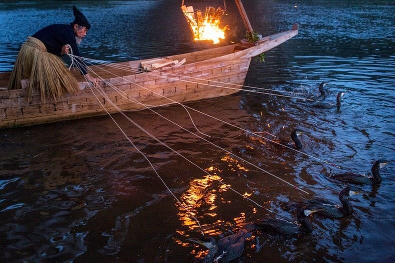 Le Ukai, l'art ancestral japonais de la pêche au cormoran 1217