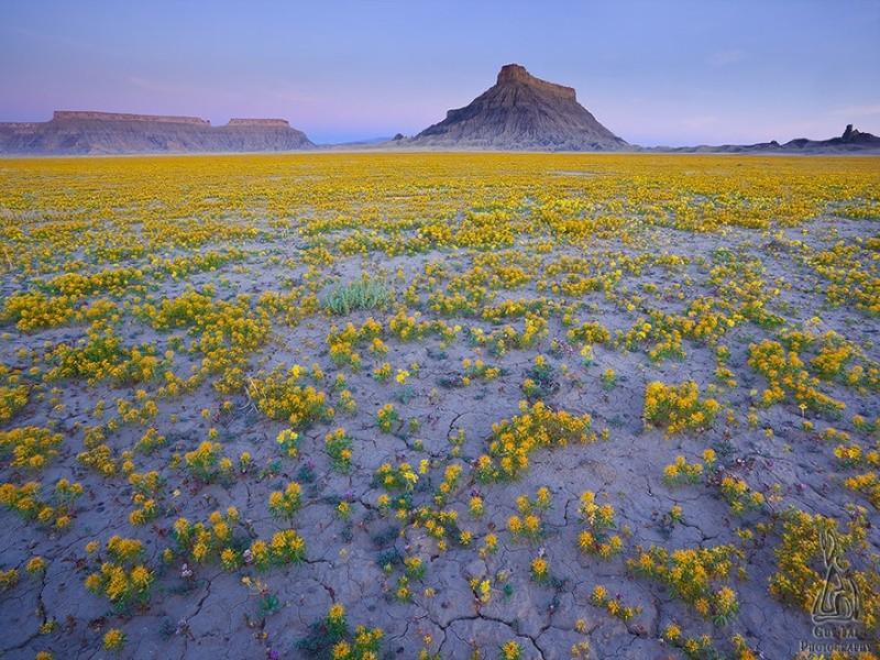 Quand les déserts de l'Utah fleurissent, 342