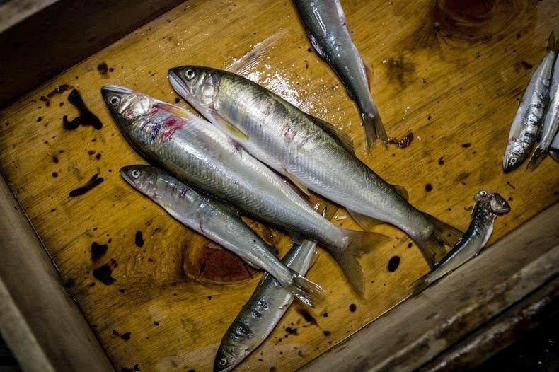 Le Ukai, l'art ancestral japonais de la pêche au cormoran 435