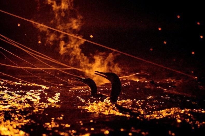 Le Ukai, l'art ancestral japonais de la pêche au cormoran 527