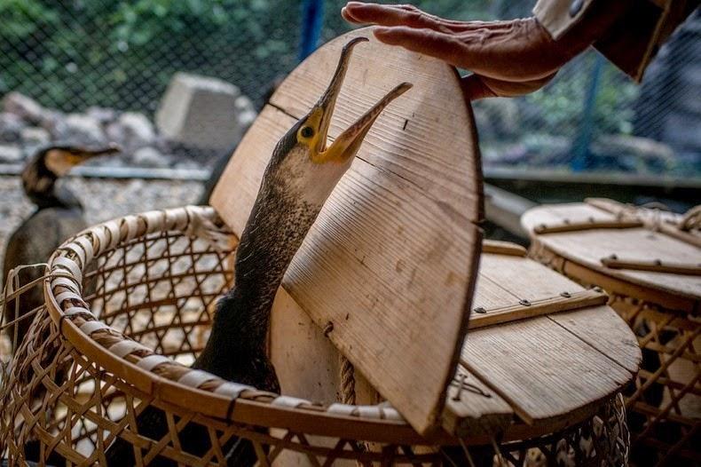 Le Ukai, l'art ancestral japonais de la pêche au cormoran 622
