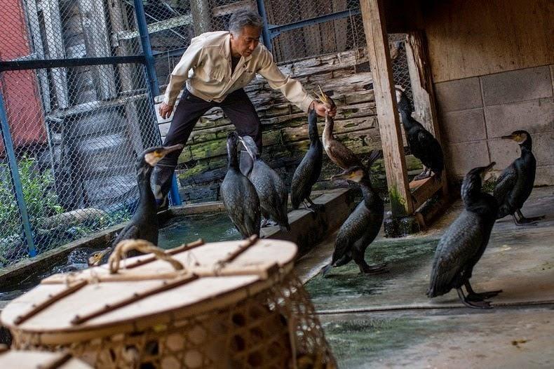 Le Ukai, l'art ancestral japonais de la pêche au cormoran 717