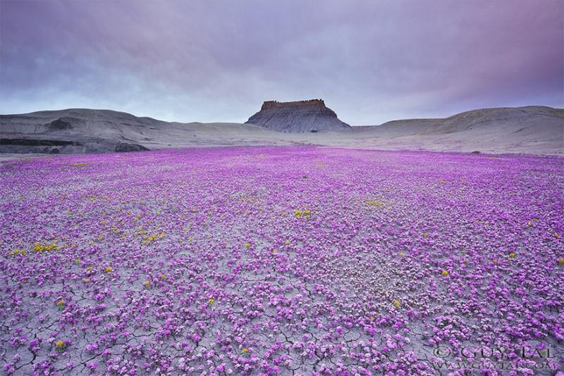 Quand les déserts de l'Utah fleurissent, 912