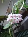 Nine's Wachsblümchen H_bell11