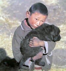 Rôle du chien dans la société nomade tibétain Artico10