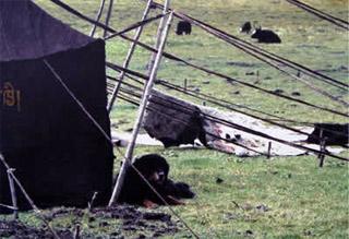 Rôle du chien dans la société nomade tibétain Artico11