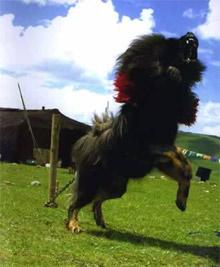 Rôle du chien dans la société nomade tibétain Artico12