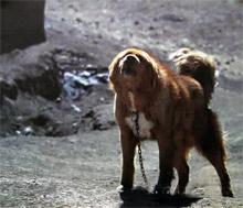 Rôle du chien dans la société nomade tibétain Artico13