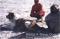 """Les 3 types de Berger Asie Centrale Souche  """"Afghane"""" Mounta11"""