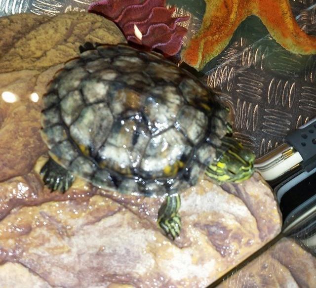 Ma tortue est elle malade??? 10588610