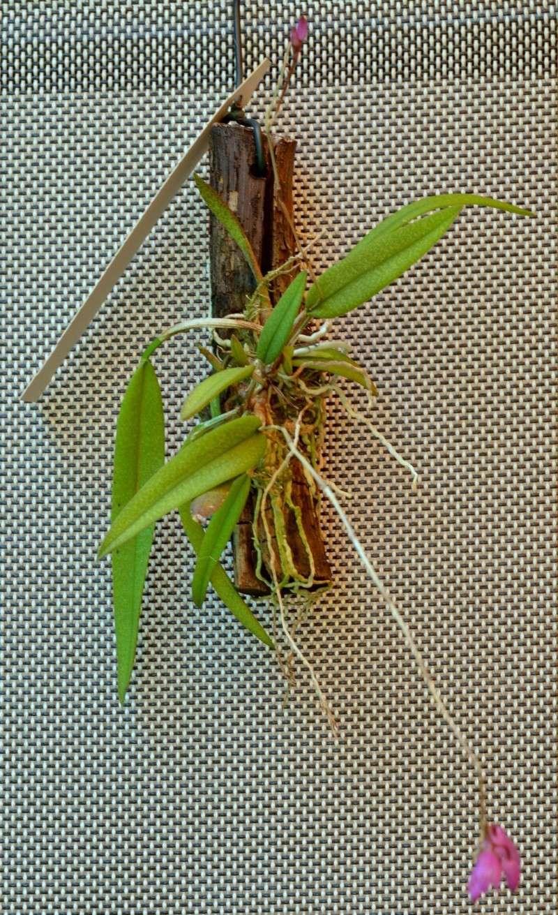 Miniatur-Orchideen 2. Teil Nageli10