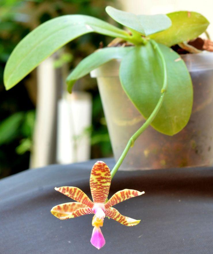 Phalaenopsis lueddemanniana....eine Zicke? Mitnichten! - Seite 2 Phalae11