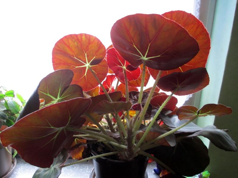 Begonia - Begonien Begoni10