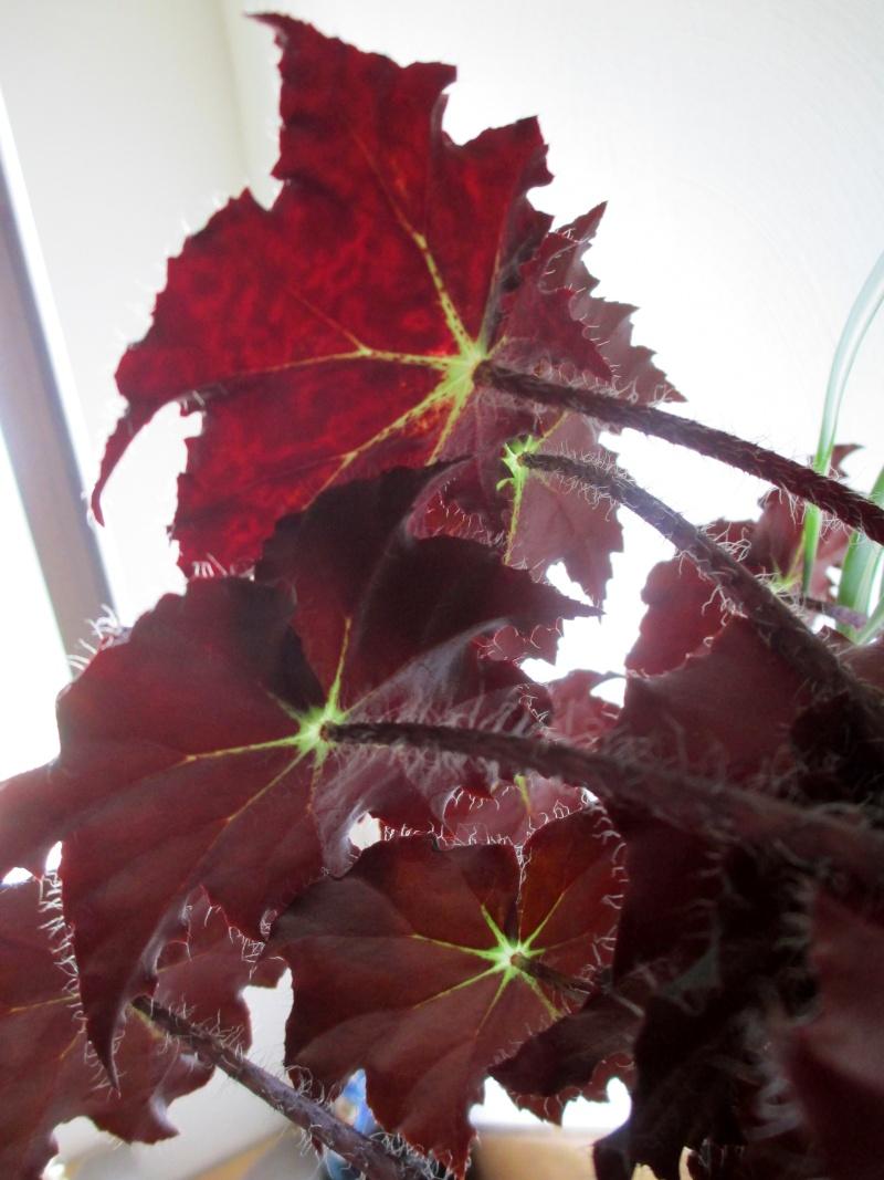 Begonia - Begonien Img_1711