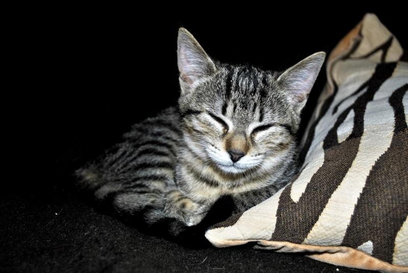 Janet, femelle type européenne tigrée, née le 15 juin 2014 _dsc0036