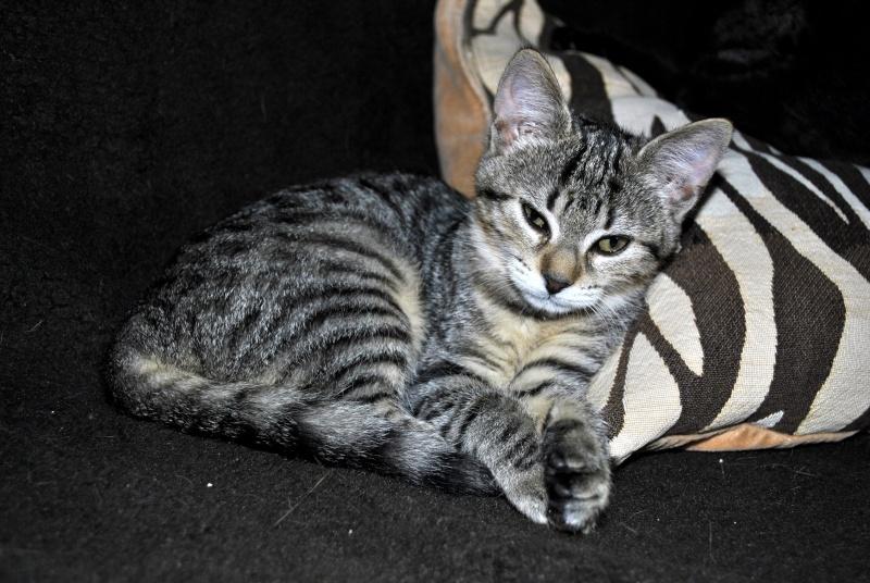Janet, femelle type européenne tigrée, née le 15 juin 2014 _dsc0038