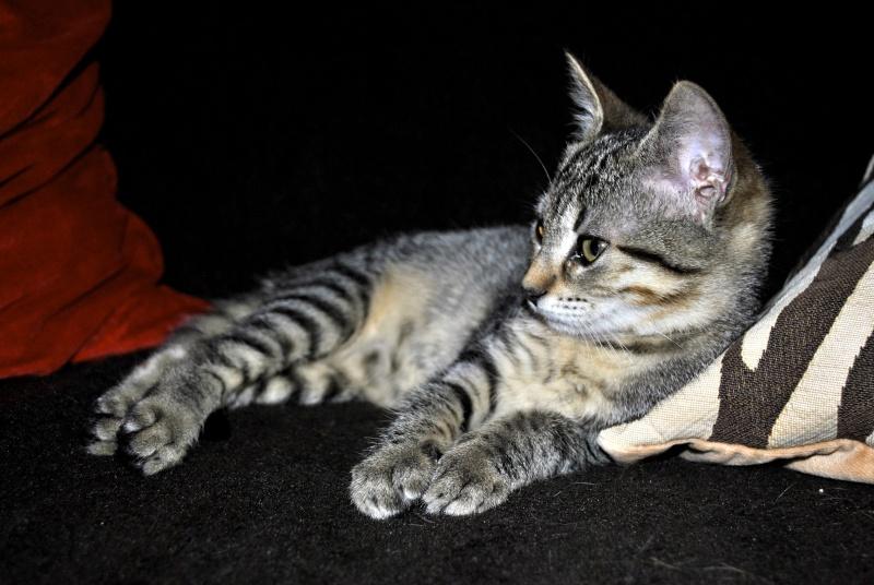 Janet, femelle type européenne tigrée, née le 15 juin 2014 _dsc0039