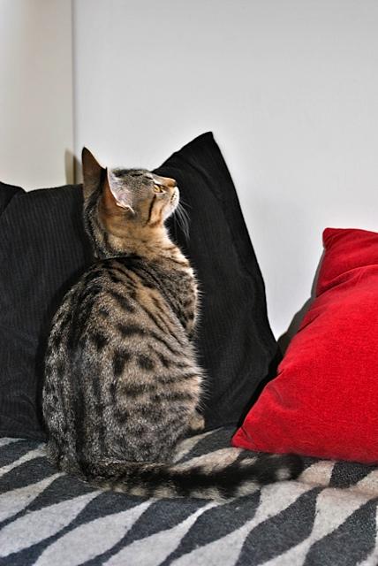 Janet, femelle type européenne tigrée, née le 15 juin 2014 - Page 2 _dsc0045