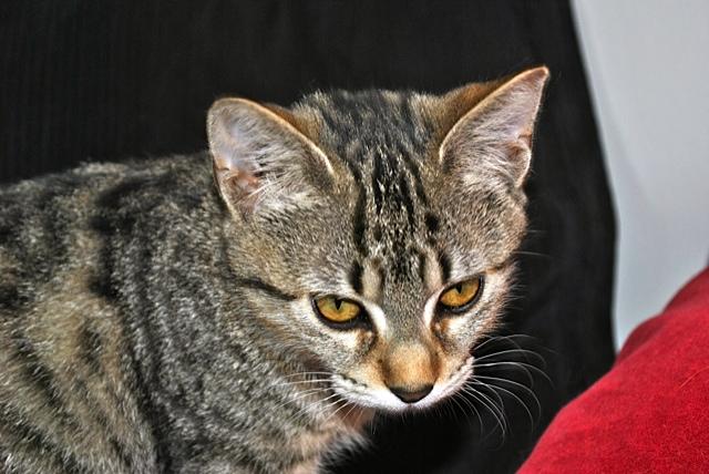 Janet, femelle type européenne tigrée, née le 15 juin 2014 - Page 2 _dsc0047