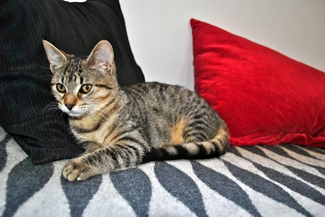 Janet, femelle type européenne tigrée, née le 15 juin 2014 - Page 2 _dsc0049