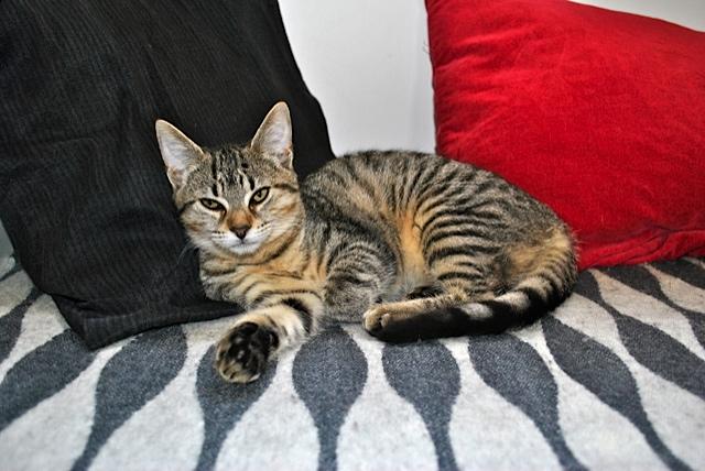 Janet, femelle type européenne tigrée, née le 15 juin 2014 - Page 2 _dsc0053