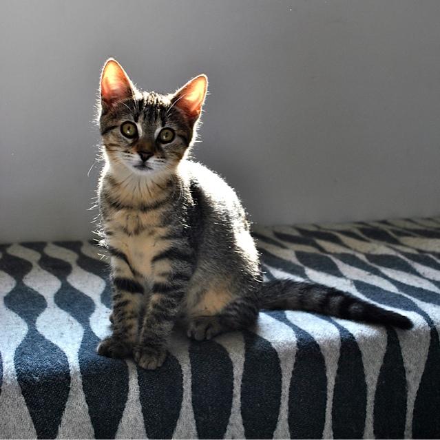 Janet, femelle type européenne tigrée, née le 15 juin 2014 - Page 2 _dsc0140