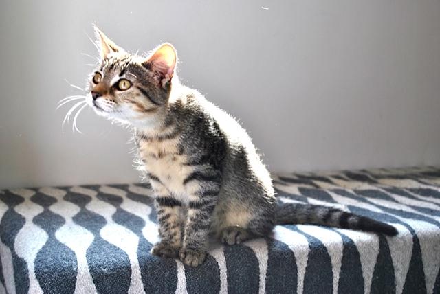 Janet, femelle type européenne tigrée, née le 15 juin 2014 - Page 2 _dsc0142