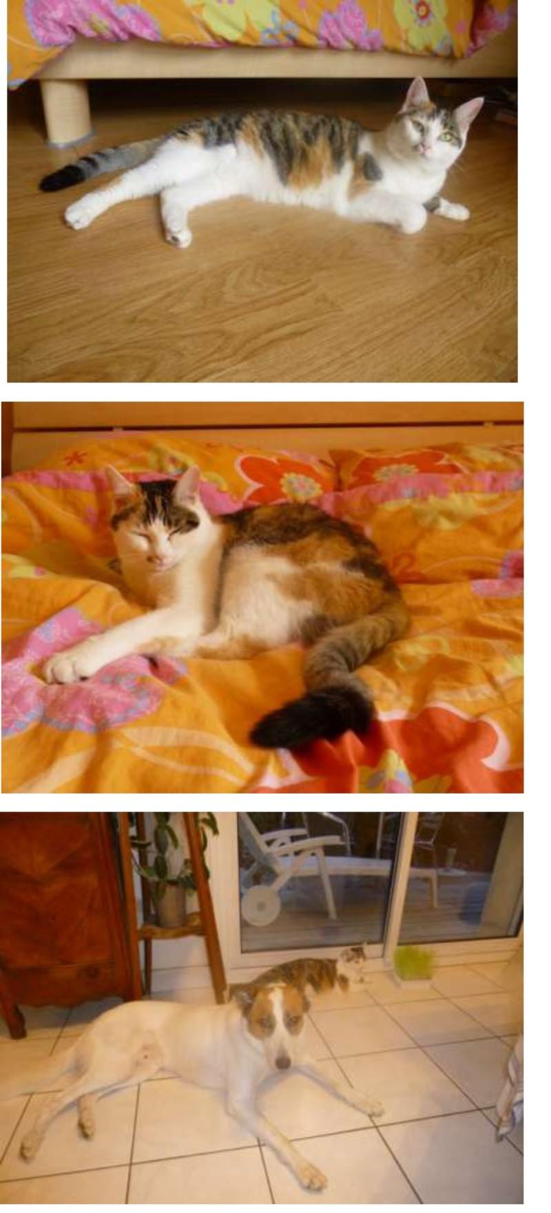 Iroise, femelle type européenne, tricolore, née 1er mai 2013 - Page 10 Photo_10