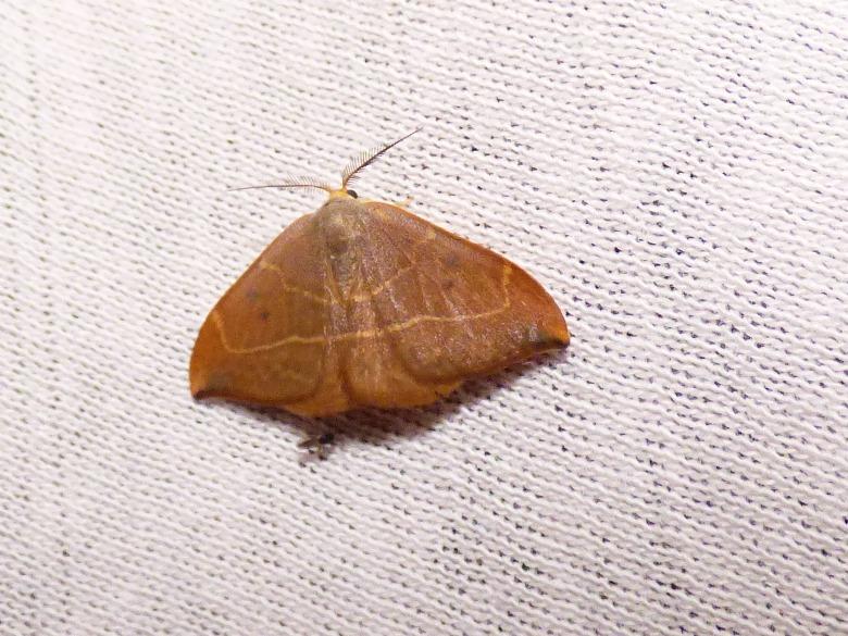 Identification lépidoptère : Watsonella binaria ? Drepan10