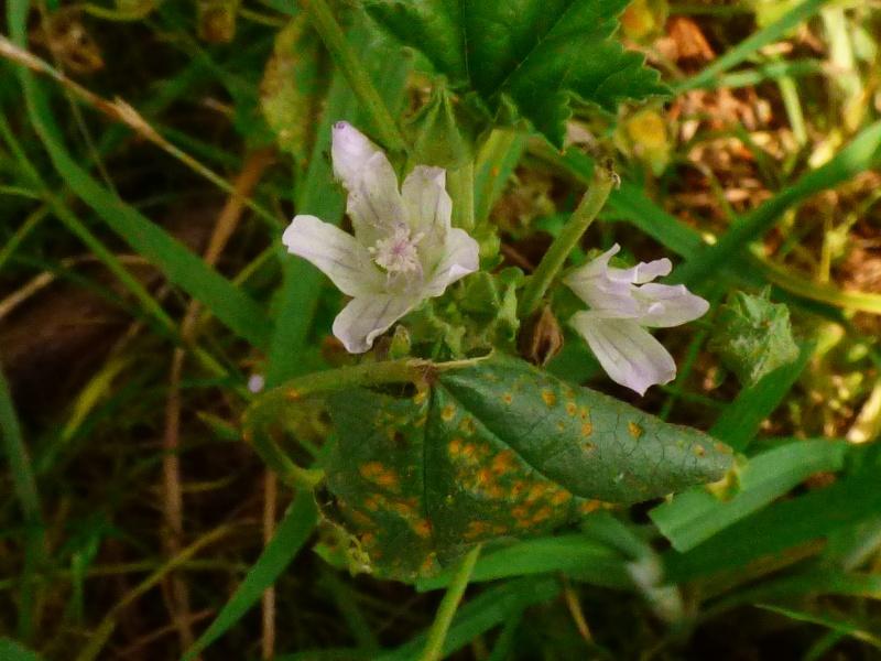 [Hespérie de l'alcée (Carcharodus alceae)] Hespérie à déterminer - Page 2 Hespyr10