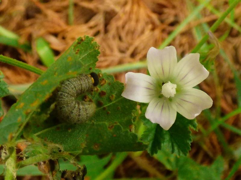 [Hespérie de l'alcée (Carcharodus alceae)] Hespérie à déterminer - Page 2 Hespyr11