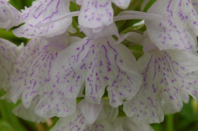 Dactylorhiza maculata ssp? Le_pot11