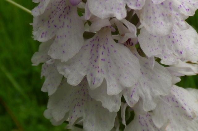 Dactylorhiza maculata ssp? Le_pot13