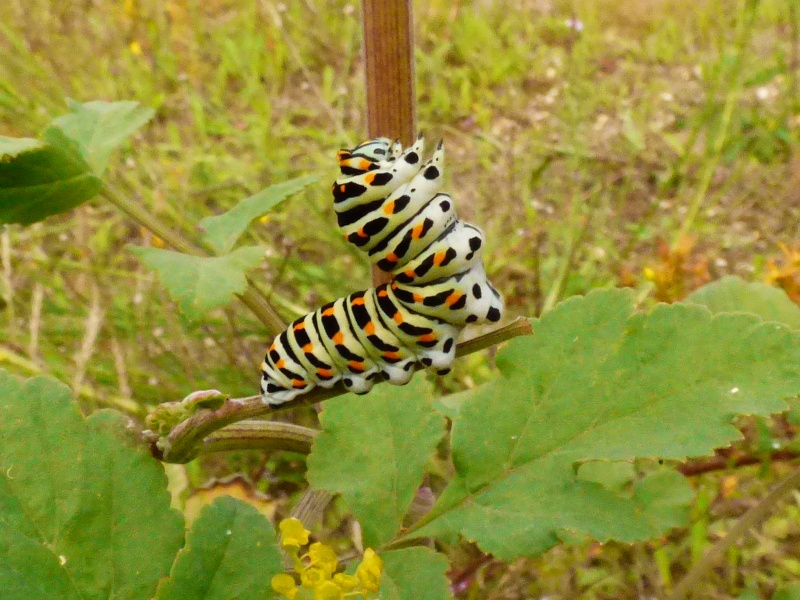 Chenille Papilio Machaon Papili10