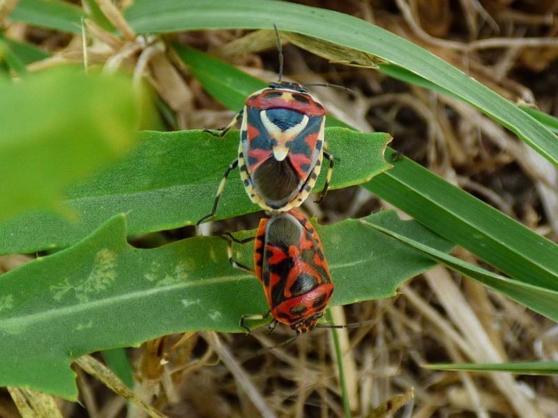 [Eurydema herbacea] ID punaise rouge et noire dans cakillier maritime Punais11