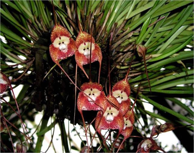 Hallo Freunde wie Vermehre ich  diese Orchidee aus Samen Monkey11