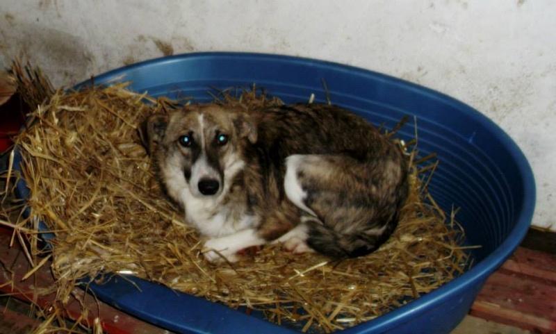 VOLVIC - VOLVIC - Femelle croisée lévrier, taille moyenne née env 2013 (PASCANI) - adoptée par Marie (dpt51) Volvic10